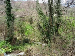 Зелен бршлен ползи по дрвата покрај Лешочката река