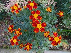фото: Митко Спироски, Лешок, октомври 2016, Цвеќе во Мојот двор-Македонско сонце со пет краци